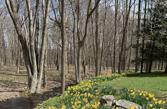 Hudson Valley Chicken House Daffodils in Bloom , Staatsburg. NY - Architect: Neumann & Rudy
